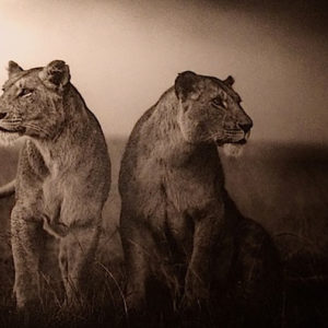 Brandt, Lionesses Readying to hunt