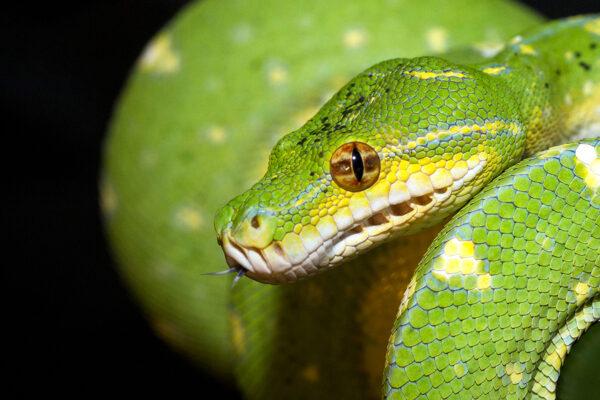Morelia-viridis-sito