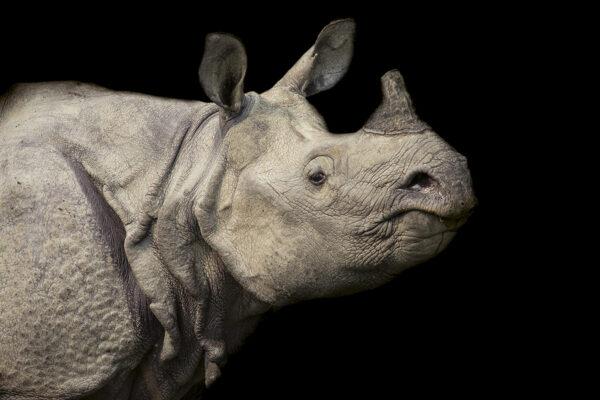 Rhinoceros-unicornis-sito
